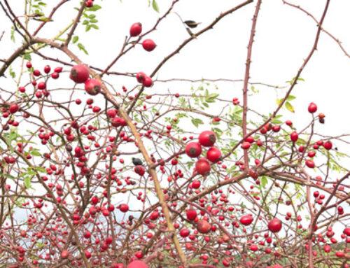 Köstliches für das Immunsystem – Zwei Früchte von heimischen Sträuchern im September